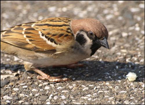 Sparrow Burung Gereja Yenpiaopiao
